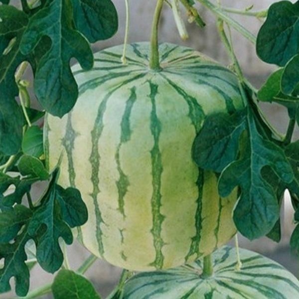 Square Watermelon Seeds (10 Seeds)-Rama Deals