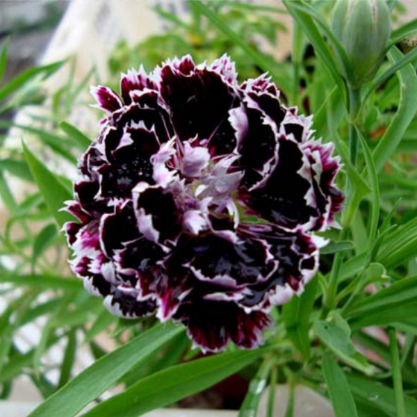 Clearance 25 Black Rose Dianthus Seeds-Rama Deals