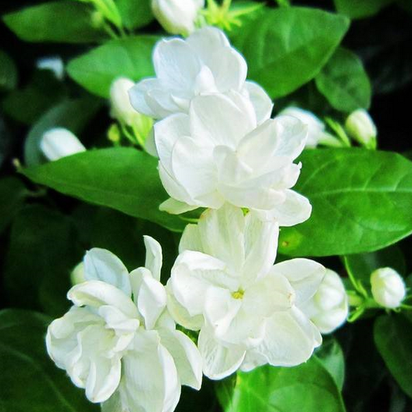 Cape Jasmine (20 Seeds)-Rama Deals