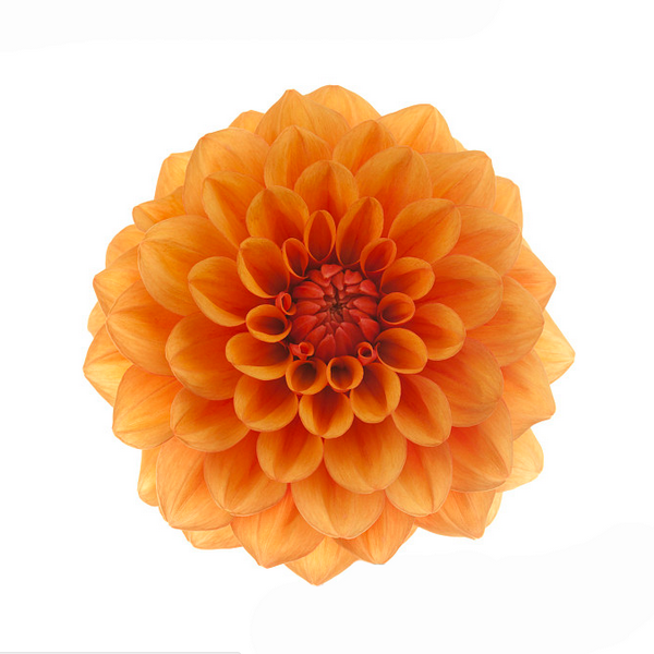 20 Dahlia Seeds - Mixed Color-Rama Deals