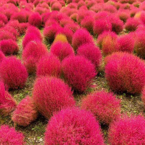 20 Red Kochia Scoparia Seeds-Rama Deals