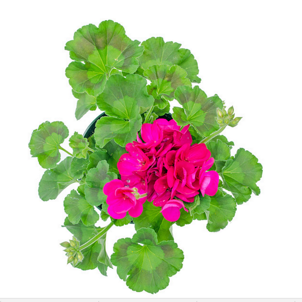 Geranium seeds(100 Seeds)-Rama Deals