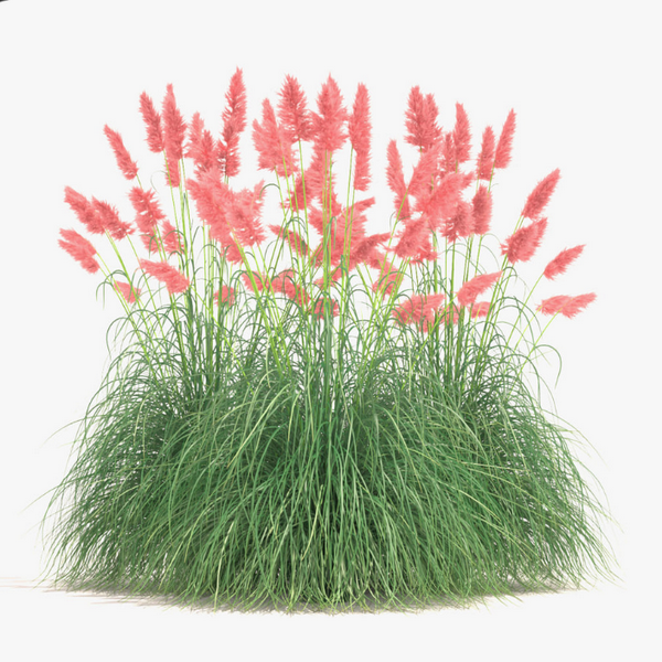 Pink Pampas Grass Seeds-Rama Deals