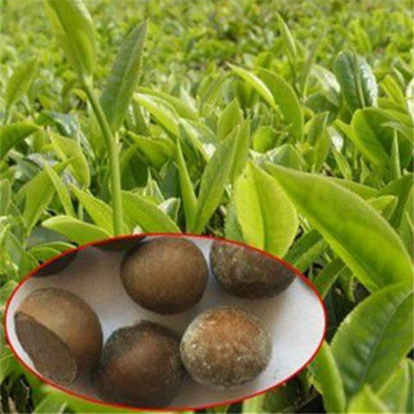 5 Piece Ancient Herbal Tea Tree Seeds-Rama Deals