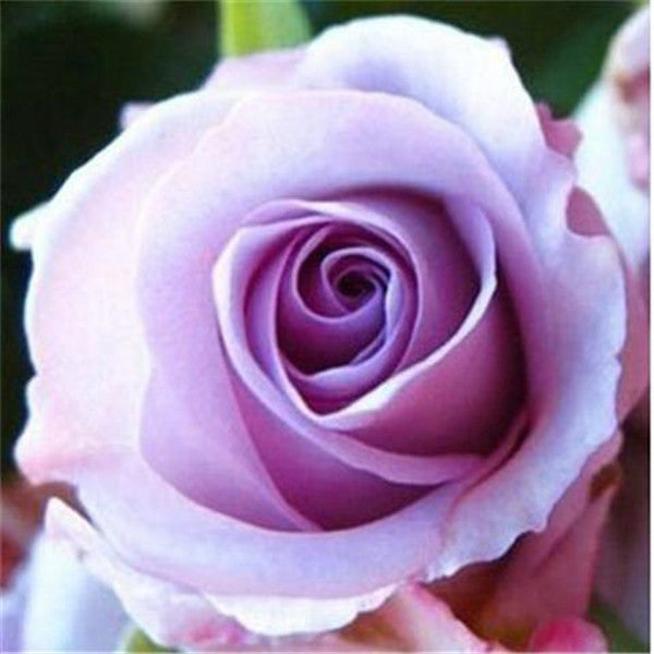 Alaskan Rose Seeds (20 PCS Assorted Seeds)-Rama Deals