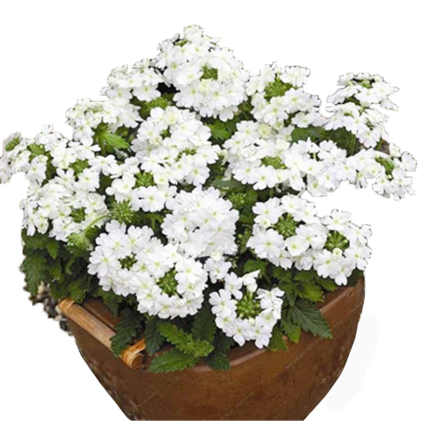 Clearance 50pcs/Pack Verbena Seeds-Rama Deals
