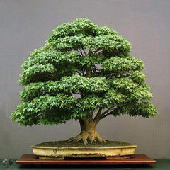 Meditation Bonsai Tree (15 Seeds) - Rama Deals
