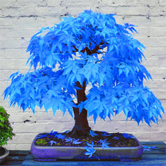 Mystic Blue Maple Bonsai Tree (20 seeds)-Rama Deals