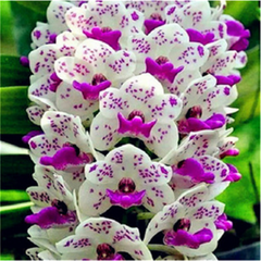 100pcs Rare Cymbidium Orchid Seeds-Rama Deals
