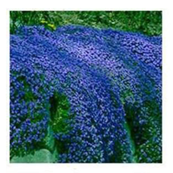 Blue Rock Cress Seeds(100 Seeds)-Rama Deals
