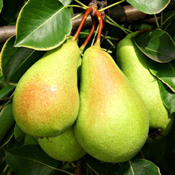 5 pcs/bag Potted Pear Seeds-Rama Deals