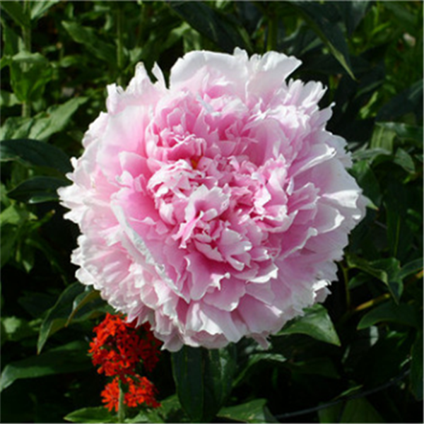 Clearance 15pcs Pink Peony Seeds-Rama Deals