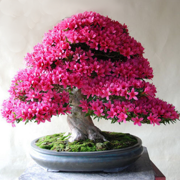 20 pink azalea cherry flower bonsai tree seeds rama deals. Black Bedroom Furniture Sets. Home Design Ideas