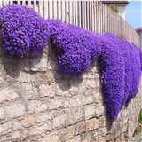 Clearance 100pcs/bag Creeping Thyme Seeds or Blue ROCK CRESS Seeds-Rama Deals