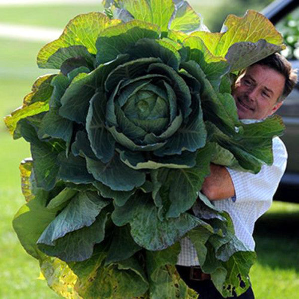 200Seeds Giant Russian Cabbage Seeds-Rama Deals