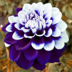 Dahlia flower seeds-Rama Deals