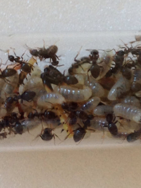 Lasius niger (Cheapest UK supplier)