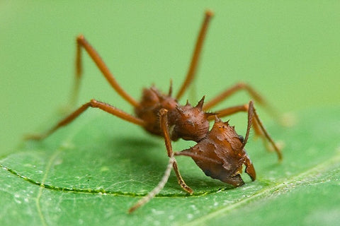 Acromyrmex Octospinosis Small, UK LIVE ARRIVAL GUARANTEE/delivery only