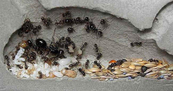Messor barbarus Mated Queen (Special offer)