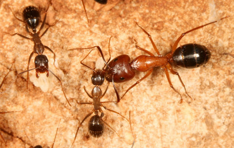 Camponotus pilicornis Queen (new listing, dispatched 1st Feb)