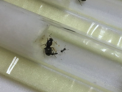 Lasius niger (Cheapest UK supplier)  UK delivery only