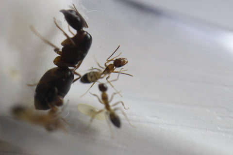 Queen Ants Amp Colonies From Around The Globe Tagged