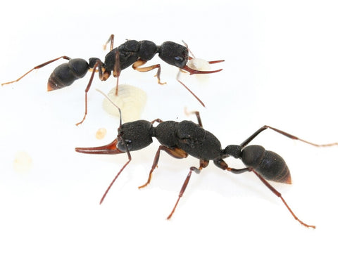 Harpegnathos Venator Queen with 10-15 workers  (UK delivery & guarantee only) (£10 off-pre-order for dispatch Friday/Monday)