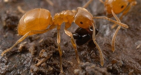 Lasius flavus - mated queen (cheapest UK supplier)UK delivery only