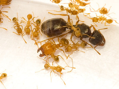 Pheidole pallidula Mated Queen with 1-4 workers