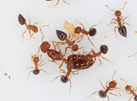 Crematogaster Vagula  Queen with 10+workers, UK delivery only)
