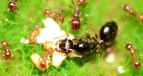 Messor orientalis Queen with 10-15 workers