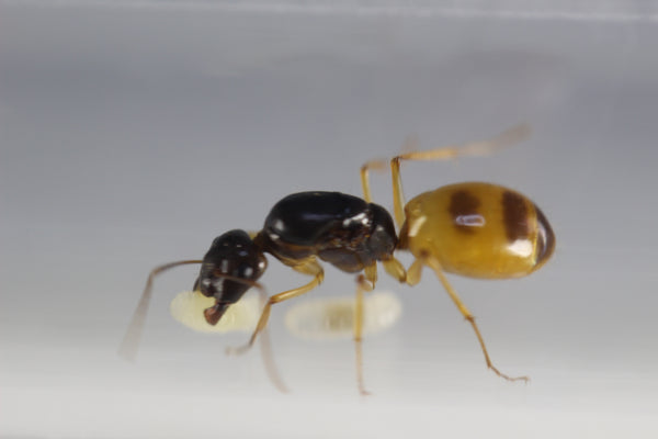 Camponotus turkestanus (Yellow Variant, UK delivery only) ( £100 cheaper than Europe!)