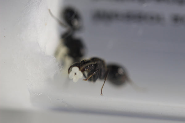 Messor aciculatus Queen with 1-5 workers