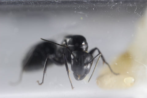 Camponotus japonicus large (UK delivery only)