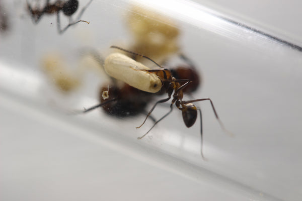 Camponotus nicobarensis (Cheapest European supplier, 2017-2018-2019-2020)