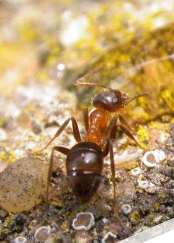 Lasius emarginatus with 5-10 workers