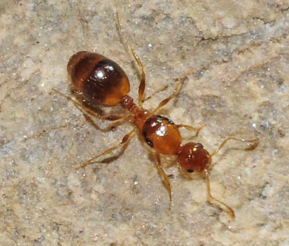 Temnothorax redecens Queen (new)