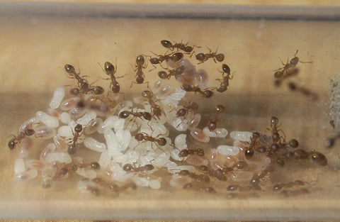Temnothorax nylanderi mated Queen with 15-25 workers