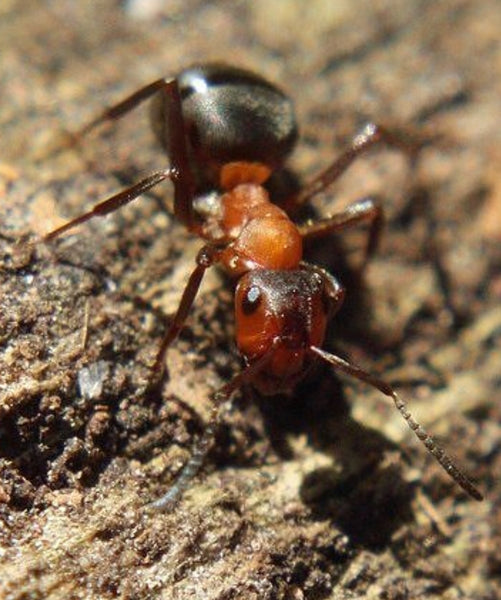 Formica (raptiformica) sanguinea Slave Maker, Wood ant Queen with 1-3 workers (Dispatched Friday 4th)