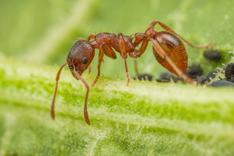 Myrmica Rubra (European fire ant) (cheapest European supplier)