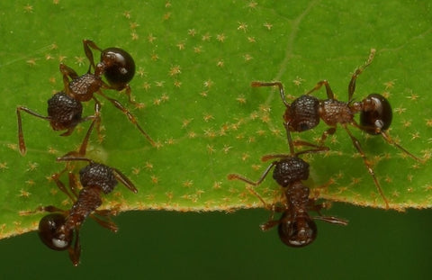 Pristomyrmex punctatus Colony