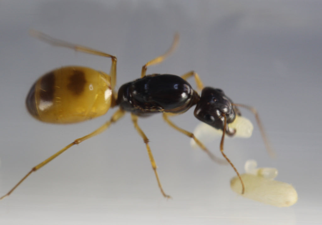 Camponotus turkestanus (Yellow Variant) ( £100 cheaper than Europe!)