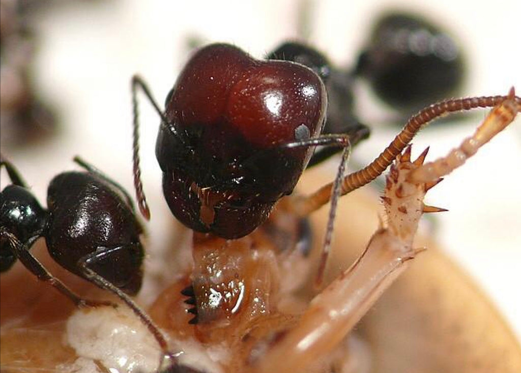 Messor barbarus red headed Queen ( UK delivery only, offer ends 12 noon 1st March)