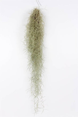Tillandsia Usneoides  300-400 mm long (Spanish Moss)
