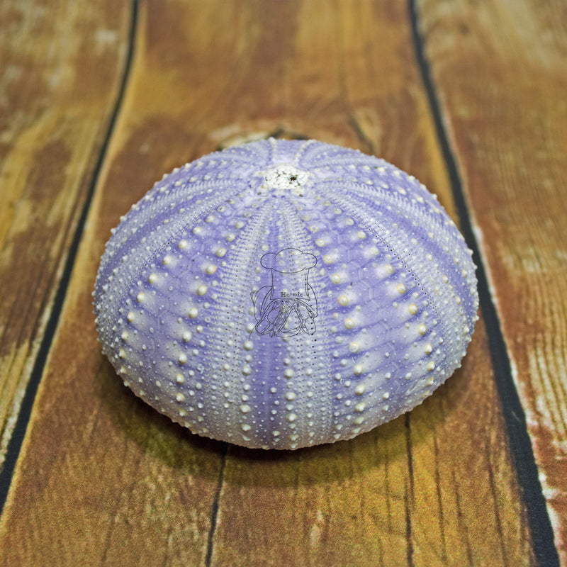 Purple Sea Urchin │ Hermit Crab Food