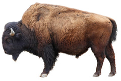 bison with beard