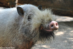 borneo pig with beard