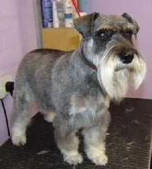 schnauser dog with beard