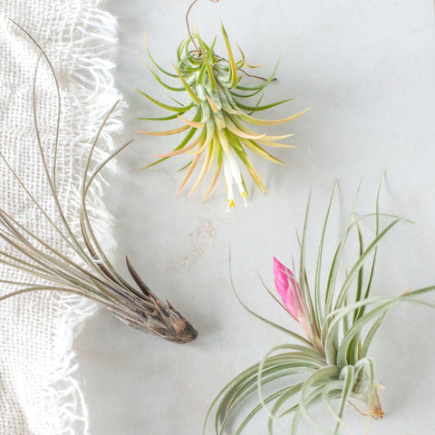 Set of 3 Assorted Tillandsia Air Plants - Gather Goods Co - Raleigh, NC