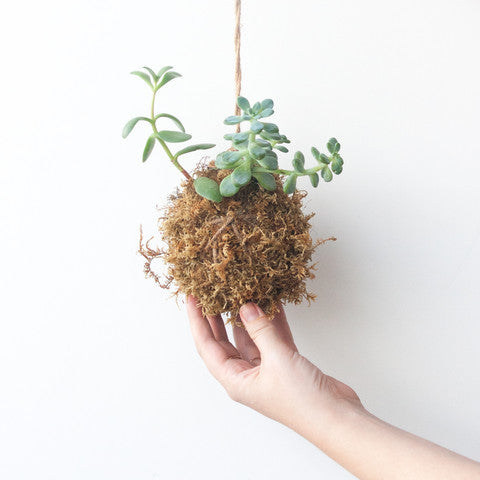 Japanese Hanging Succulent, Kokedama - Gather Goods Co - Raleigh, NC